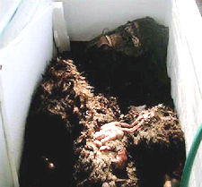 The alleged corpse of the Bigfoot